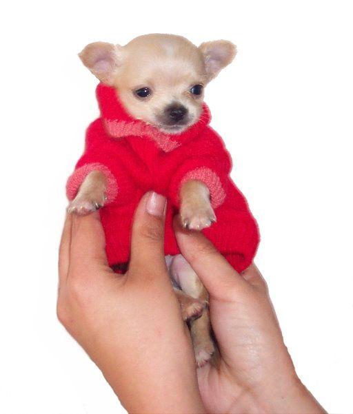 """Зачастую маленькие собачки сопровождают своих хозяев везде.  Им и достаются самые  """"сладкие """" кусочки со стола."""